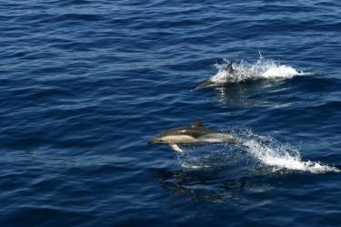 Δελφίνια στην Αλόννησο